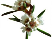 Fragonia Agonis Fragrans plant - seams hand cream ingredients - seamsbeauty.co.uk